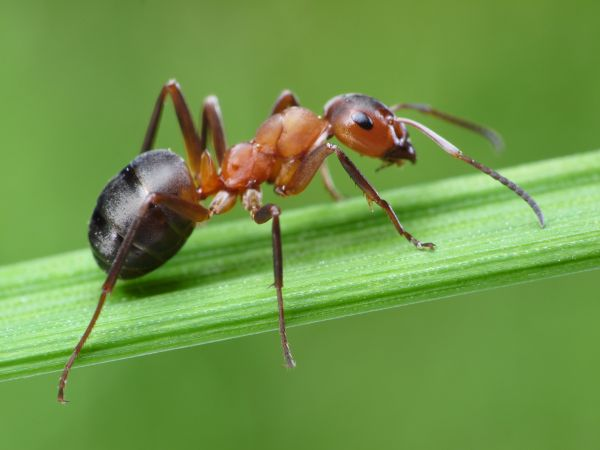 eliminate ant infestations