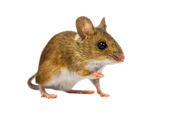 get rid of mice or rats on your property