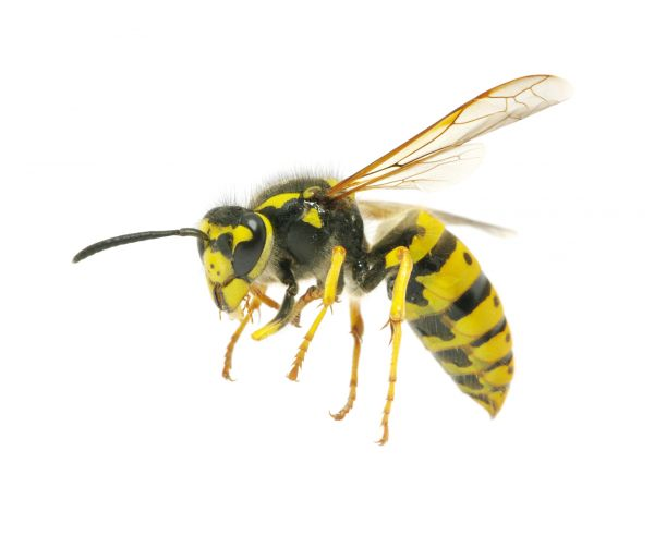 get rid of bees or wasps in your yard